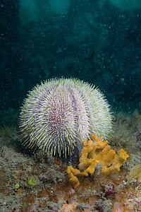 Common sea urchin {Echinus esculentus} on seabed, Channel Islands, UK  -  Sue Daly