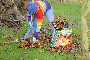 Gardener raking leaves on lawn and loading into plastic sack to make leaf mould compost, December  2008.  -  Gary K. Smith