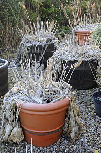 Hosta plants overwintering in pots, Norfolk, UK, December 2008  -  Gary K. Smith