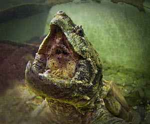 Open mouth of Alligator snapping turtle (Macrochelys / Macroclemys temminckii). Found in the Mississippi River and its tributaries throughout the Southeastern USA, Captive, Singapore Zoo.  -  Nick Garbutt