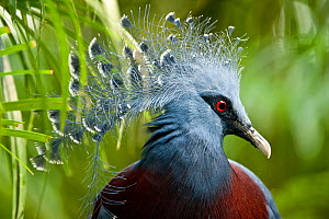 RF- Victoria crowned pigeon (Goura victoria) from swamp and sago palm forest areas in northern New Guinea. Captive, Jurong Bird Park, Singapore. (This image may be licensed either as rights managed or... - Nick Garbutt
