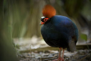 Male Crested wood partridge (Rollulus rouloul) from evergreen rainforest areas of Borneo, Sumatra and Malay Peninsula. Captive, Jurong Bird Park, Singapore.  -  Nick Garbutt
