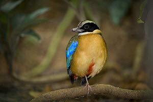 Male Blue-winged pitta (Pitta moluccensis) on rainforest floor. Danum Valley, Sabah, Borneo, Malaysia. - Nick Garbutt