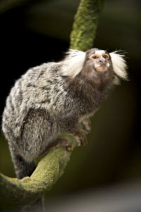 Tufted / Cotton-eared marmoset (Callithrix jacchus jacchus) from Amazonia rainforest regions, South America. Captive, Singapore Zoo.  -  Nick Garbutt