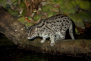 Adult Fishing cat (Prionailurus viverrinus) hunting by water at night. From SE Asia. Captive, Singapore Zoo. Endangered - Nick Garbutt