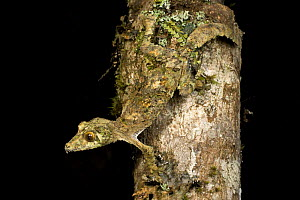 Mossy Leaf-tailed Gecko (Uroplatus sikorae) active at night. Ranomafana NP, south east Madagascar. - Nick Garbutt