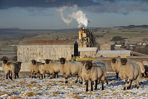 Sheep grazing in front of Cemex Cement Works and Limestone Crushing Plant with Lowther Valley and eastern Lake District behind. Shap Fell, Cumbria, UK. January 2009.  -  Nick Garbutt