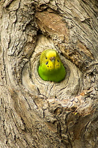 Budgerigar (Melopsittacus undulatus) peering out from its nesting hollow in tree, Cooper Creek, Innamincka, South Australia, July - Steven David Miller