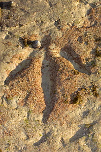 130 million year old megalosaur dinosaur footprints can be seen at low tide at Gantheaume Point, Broome, Western Australia  -  Steven David Miller
