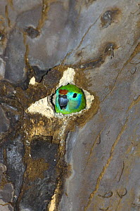 Double-eyed fig-parrot (Cyclopsitta diophthalma) Race macleayana, Female peering out of nesting hollow in tree on the bank of the Daintree River, Far North Queensland, Australia, September  -  Steven David Miller