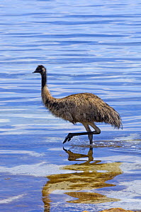Emu (Dromaius novaehollandiae) juvenile wading through water on hot day, Coffin Bay National Park, South Australia, Spring  -  Steven David Miller