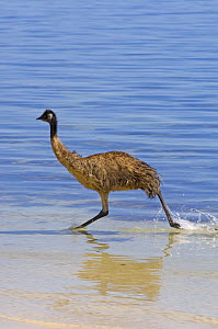 Emu (Dromaius novaehollandiae) juvenile running through water on hot day, Coffin Bay National Park, South Australia, Spring - Steven David Miller