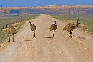 Emu (Dromaius novaehollandiae) walking on road through saltbush habitat, Mungo National Park, New South Wales, Australia, 2007 - Steven David Miller