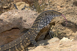 Perentie (Varanus giganteus) adult tasting the air with its tongue, Point Quobba, Carnarvon, Western Australia, November - Steven David Miller