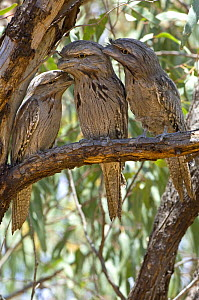 Three Tawny frogmouths (Podargus strigoides) perched during the day, Carnarvon, Western Australia  -  Steven David Miller