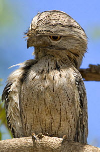 Tawny frogmouth (Podargus strigoides) perched during the day, Carnarvon, Western Australia  -  Steven David Miller