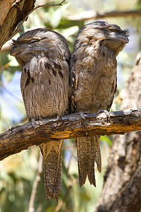 Tawny frogmouth (Podargus strigoides) adult and fledgling perched during the day, Carnarvon, Western Australia  -  Steven David Miller