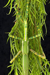 Goliath stick insect {Eurycnema goliath} female clinging to cluster of eucalyptus leaves, Central Queensland, Australia, July - Steven David Miller