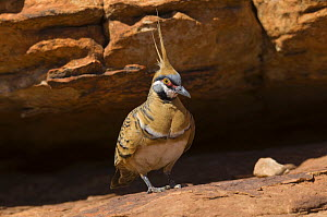 Spinifex pigeon {Geophaps / Petrophassa plumifera leucogaster} resting in shade, Watarrka (Kings Canyon) National Park, Northern Territory, Australia - Steven David Miller
