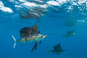 RF- Atlantic sailfish (Istiophorus albicans) hunting sardines, off Yucatan Peninsula, Mexico, Caribbean Sea. (This image may be licensed either as rights managed or royalty free.)  -  Doug Perrine