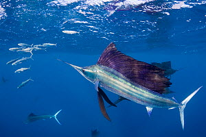 RF- Atlantic sailfish (Istiophorus albicans) attacking bait ball of Spanish sardines (Sardinella aurita) near Yucatan Peninsula, Mexico, Caribbean Sea. (This image may be licensed either as rights man... - Doug Perrine