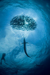 View from below of silhouette of diver and Atlantic sailfish {Istiophorus albicans} attacking bait ball of Spanish sardines / gilt sardine / pilchard / round sardinella {Sardinella aurita} off Yucatan... - Doug Perrine