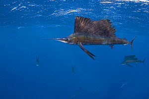 Released Atlantic sailfish {Istiophorus albicans}showing injuries from fish hook and line and handling, is swimming normally and hunting sardines off Yucatan Peninsula, Mexico, Caribbean Sea  -  Doug Perrine
