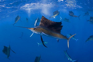 Large group (at least 18) of Atlantic sailfish {Istiophorus albicans} attacking bait ball of Spanish sardines / gilt sardine / pilchard / round sardinella {Sardinella aurita} off Yucatan Peninsula, Me... - Doug Perrine