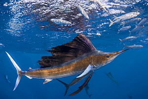 Atlantic sailfish {Istiophorus albicans} attacking bait ball of Spanish sardines / gilt sardine / pilchard / round sardinella {Sardinella aurita} off Yucatan Peninsula, Mexico, Caribbean Sea, Digitall... - Doug Perrine