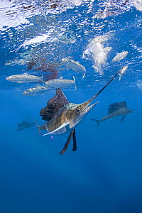 Atlantic sailfish {Istiophorus albicans} hits sardine with bill while feeding on bait ball of Spanish sardines / gilt sardine / pilchard / round sardinella {Sardinella aurita} off Yucatan Peninsula, M... - Doug Perrine