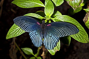 Great mormon butterfly (Papilio memnon) captive, from SE Asia  -  Rod Williams