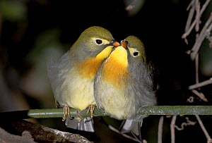Red-billed leiothrix / Pekin robins (Leiothrix lutea) pair interacting, captive, from Central Himalayas  -  Rod Williams
