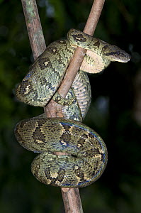 Madagascar boa {Acrantophis madagascariensis} coiled around branch at night, Aye-aye Island, north-east Madagascar  -  Mark Carwardine