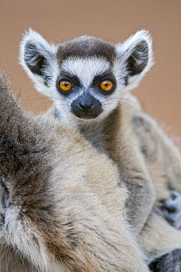 Ring-tailed lemur {Lemur catta} baby on mother's back, portrait, Berenty Private Reserve, southern Madagascar  -  Mark Carwardine