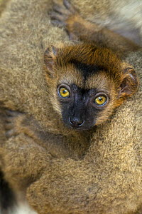 White fronted brown lemur {Eulemur albifrons} three-weeks baby, captive, Maroantsetra, north-eastern Madagascar, IUCN vulnerable species  -  Mark Carwardine