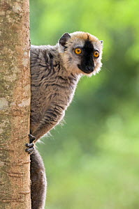 Red fronted brown lemur {Eulemur fulvus} Berenty Private Reserve, southern Madagascar - Mark Carwardine