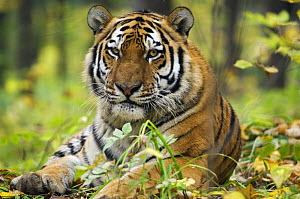Siberian / Amur tiger (Panthera tigris altaica). Male rescued from poachers, �Utyos Wildlife Rehabilitation Centre, Kutuzovka Village, Russian Far East, in taiga forest, Endangered species  -  Mark Carwardine
