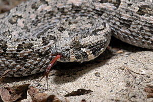Southern adder (Bitis armata) adult female with tongue exposed, Dehoop nature reserve, South Africa.  -  Tony Phelps