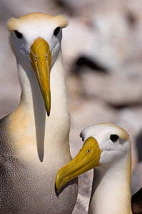 Waved Albatross (Phoebastria irrorata) courtship, Punta Cevallos, Espa�ola Island, Galapagos Islands, Critically Endangered  -  Pete Oxford