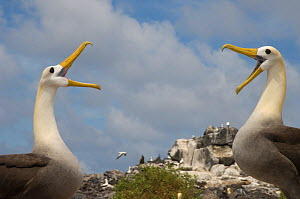 Waved Albatross (Phoebastria irrorata) courtship, Punta Cevallos, Espa�ola Island, Galapagos Islands, Ecuador, South America. Endemic, Critically endangered  -  Pete Oxford