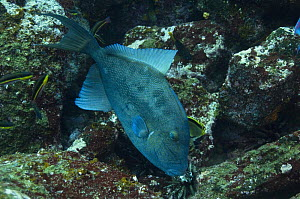 Finescale Triggerfish (Balistes polylepis) feeding off of Wolf Island, Galapagos Islands, Ecuador, South America  -  Pete Oxford