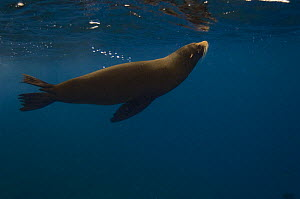 Galapagos Fur Seal (Arctocephalus galapagoensis) just below the surface off of Wolf Island, Galapagos Islands, Ecuador, South America  -  Pete Oxford