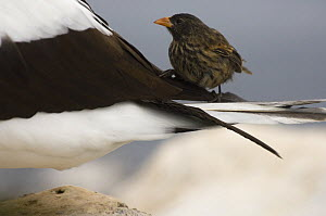 Vampire / Sharp-beaked Ground Finch (Geospiza difficilis) on a Nazca / Masked Booby (Sula dactylatra granti) where it feeds on blood, Wolf Island, Galapagos Islands, Ecuador, South America  -  Pete Oxford