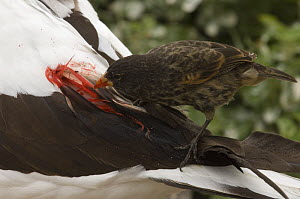 Vampire / Sharp-beaked Ground Finch (Geospiza difficilis) feeding on blood from Nazca / Masked Booby (Sula dactylatra granti) Wolf Island, Galapagos Islands, Ecuador, South America  -  Pete Oxford