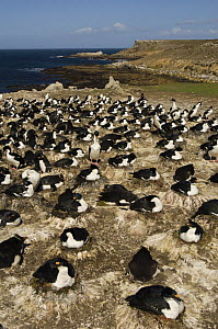 Imperial Shag / King Cormorant / Imperial Cormorant (Phalacrocorax albiventer) colony mixed with Souther rockhopper penguins (Eudyptes chrysocome chrysocome) Pebble Island, Falkland Islands  -  Pete Oxford