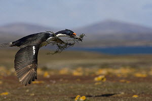 Imperial Shag / King Cormorant / Imperial Cormorant (Phalacrocorax albiventer) carrying nesting material, Pebble Island, Falkland Islands  -  Pete Oxford