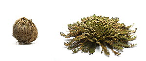 Resurrection plant / Rose of Jericho / Farnmoss  {Selaginella lepidophylla} plant curled up in tight ball in dry conditions and open in wet conditions  -  Simon Colmer