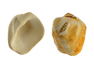 Fossilized Cockles (Venericor / Megacardita planicosta) from the Eocene epoch, Cadzand, the Netherlands - Philippe Clement