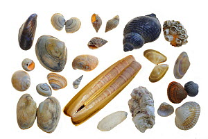 Collection of shells: Common Mussel (Mytilus edulis), Baltic tellin shell (Macoma balthica), Rayed trough shell (Mactra stultorum cinerea / Mactra corallina cinerea), Netted dog whelk (Nassarius retic...  -  Philippe Clement