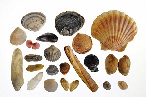Collection of shells: Rayed trough shell (Mactra stultorum cinerea / Mactra corallina cinerea), Common oyster (Ostrea edulis), Scallop shell (Pecten jacobeus), Smooth cockle / Norway cockle (Laevicard...  -  Philippe Clement